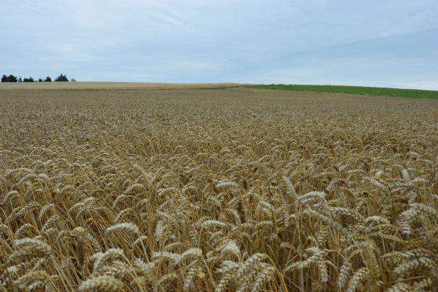 Rekordowe zbiory pszenicy we Francji