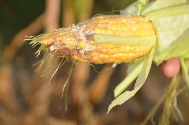 Słonecznica i piętnówki na kukurydzy, zagrożenie ze strony fuzariozy kolb