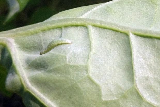 W rzepaku pojawiły się gąsienice tantnisia krzyżowiaczka