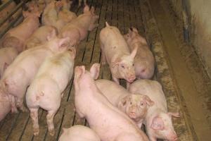 Holandia: Blisko połowa tuczników żywiona paszą płynną