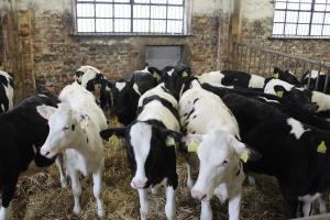 Wzrosło pogłowie młodego bydła