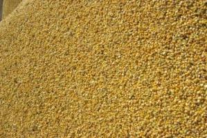 Kukurydza na ziarno już zbierana, cena mokrej ok. 440 zł/t