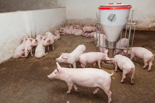 """""""Gazeta Wyborcza"""": Koniec świńskiej potęgi"""