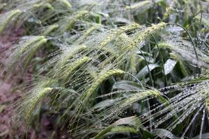 Siew odmian hybrydowych jęczmienia ozimego