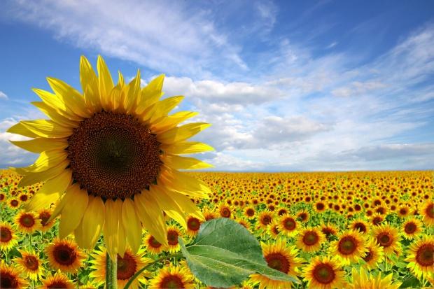 Rosja importuje nasiona słonecznika z Doniecka i Ługańska