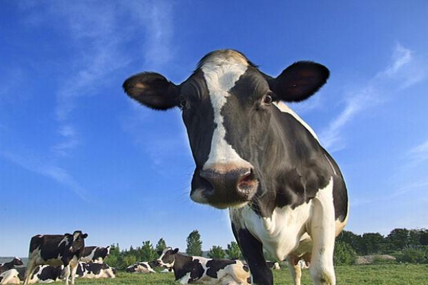 PiS: potrzebna rezolucja Sejmu ws. producentów mleka
