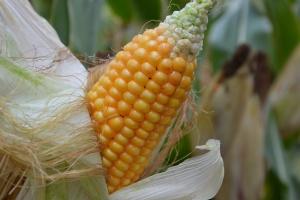 Żniwa kukurydzy we Francji