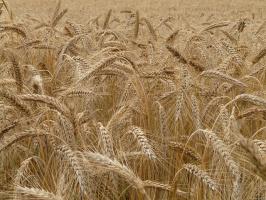 Niemcy mogą utracić pozycję światowego lidera w produkcji żyta