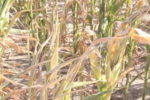 Jutro ARiMR też przyjmuje wnioski o pomoc po suszy