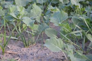 Graminicydy w rzepak przeciwko jednorocznym chwastom jednoliściennym i samosiewom zbóż