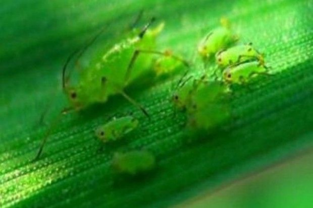 Czasowe zezwolenie aplikacji nalistnego insektycydu na mszyce jesienią