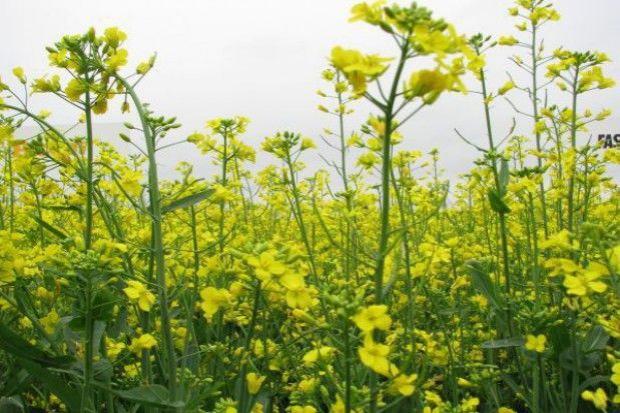 Rzepak jary – jak plonował w tym roku?
