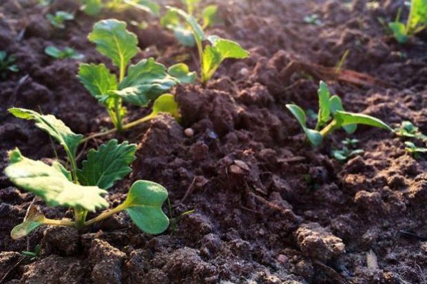 Przesiewanie rzepaku, a stosowane herbicydy