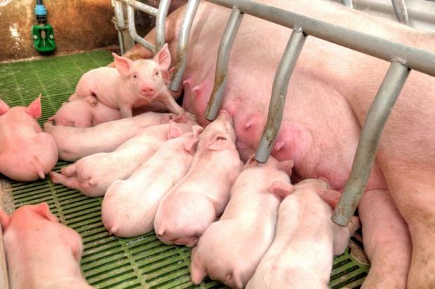 Dążyć do specjalizacji, czyli jak zarobić na świniach