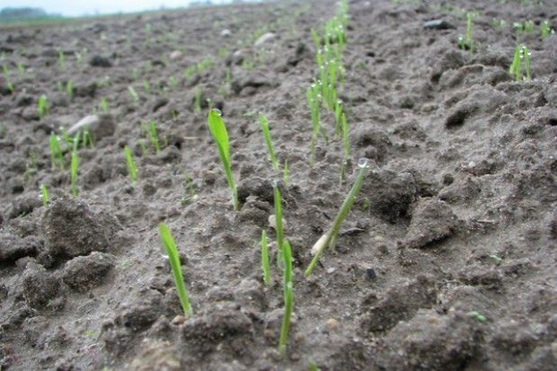 Siew zbóż ozimych po chlomazonie – zdanie praktyka