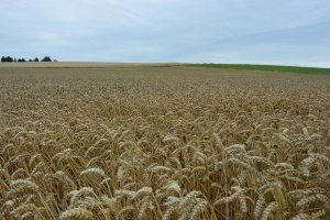 FAO: Żniwa w Rosji powyżej średniej z ostatnich pięciu lat