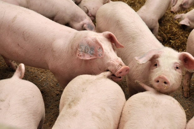 Agresja i kanibalizm u świń