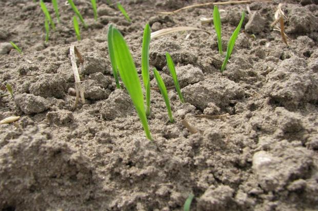 Suche siewy zbóż – późne wschody, nawet po dwóch tygodniach