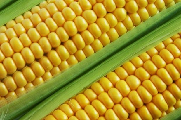 Mniejsze światowe zbiory kukurydzy na ziarno