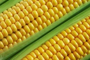 Czechy: Mniej kukurydzy i okopowych