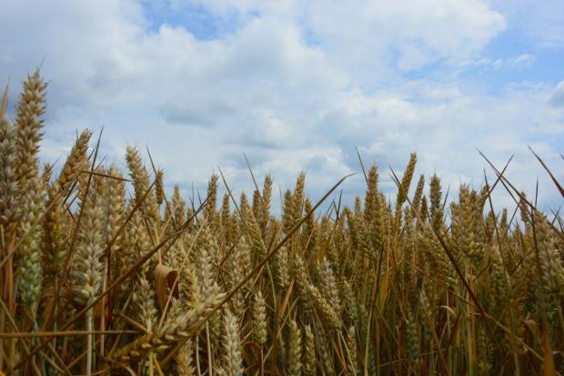 ARR: Ceny zbóż do marca będą na poziomie ubiegłego roku