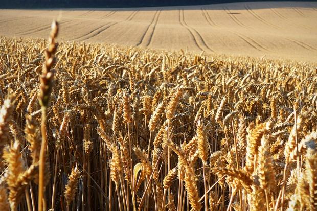 Po kilku dniach spadku, ceny zbóż wzrosły