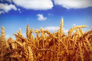 Coraz wyższe prognozy zbiorów pszenicy w UE