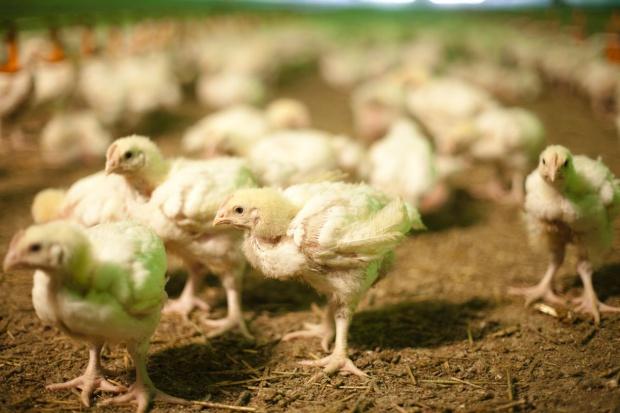 Rośnie produkcja drobiu, zachęca do tego popyt