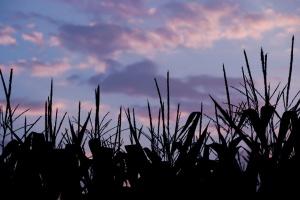 Cena kukurydzy na MATIF ponownie wzrosła
