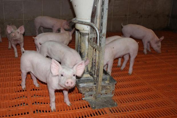 Chcą obniżenia zawartości cynku w paszach dla świń