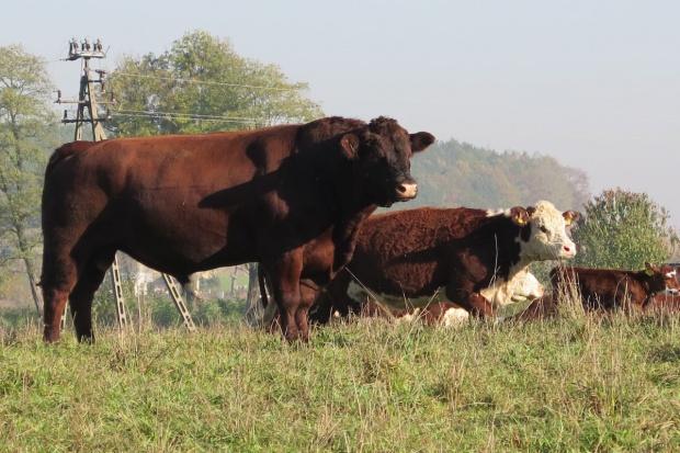 IERiGŻ: Od kilku lat rośnie skup bydła