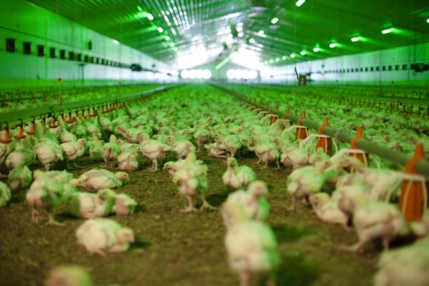 UE: Wyższa produkcja drobiu, wzrost eksportu