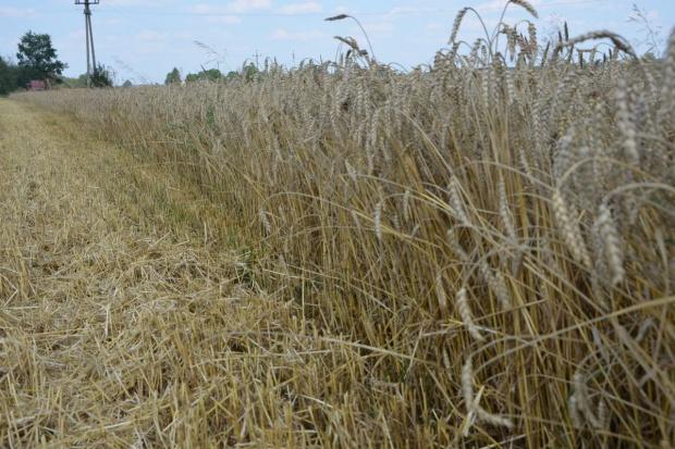 Ceny zbóż nie zmieniają się już od kilku tygodni