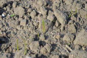 Jesienne zwalczanie chwastów w pszenżycie