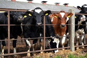 Dobre prognozy cen skupu bydła