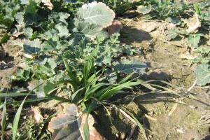 Brasan – nowy herbicyd w rzepaku
