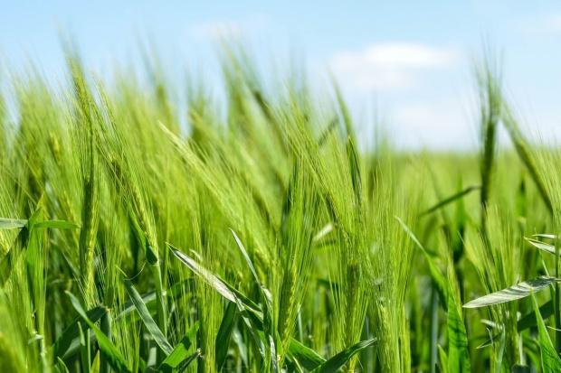 Spadki cen zbóż na początku tygodnia