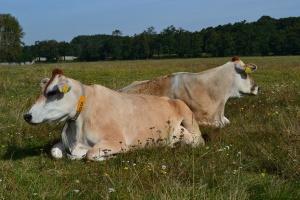 Ile odpoczywają krowy?