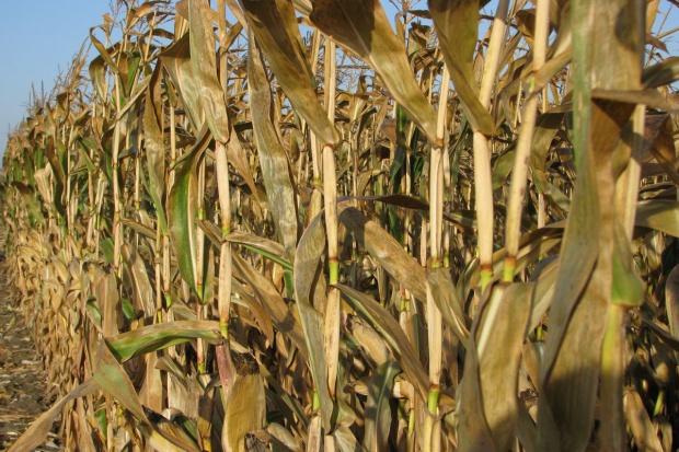 Podrożała kukurydza, cena pozostałych zbóż nie uległa zmianie