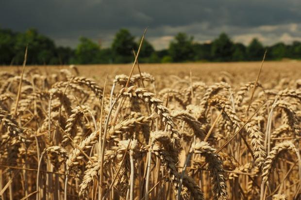 Po raz pierwszy Rosja wyeksportuje więcej pszenicy niż USA