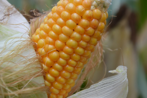 Eksport kukurydzy z Brazylii na rekordowym poziomie