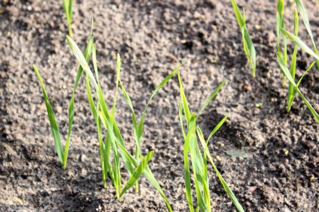Obawa o plantacje pszenicy z siewów opóźnionych