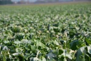 Stosowanie fungicydów w niskich temperaturach