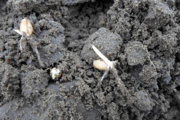 Czy można jeszcze zasiać pszenicę ozimą?