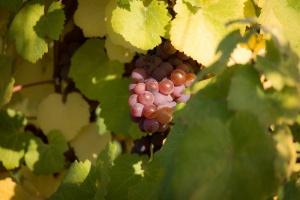 Winiarz z Podkarpacia autorem nowych odmian winorośli