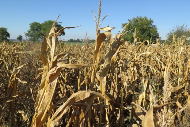 Kukurydza - przegrana bitwa z suszą?