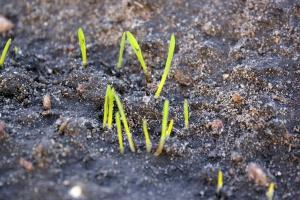 Wschodzi pszenica siana z początkiem listopada
