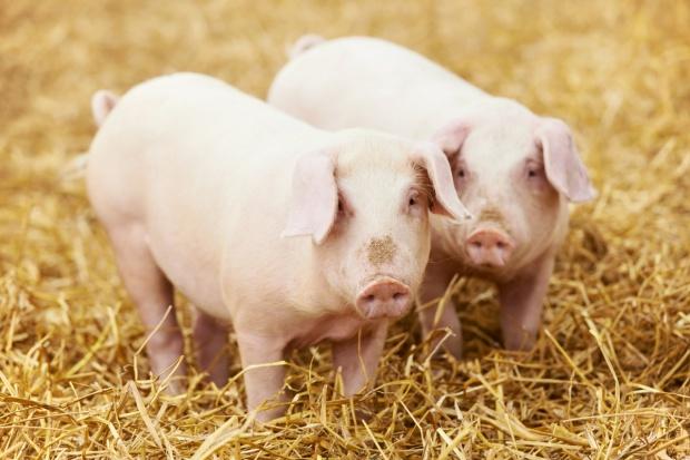 Kolejne duże spadki cen świń