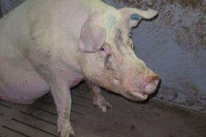 Kaszel u świń to często problem o złożonym podłożu