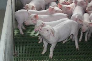 Europejskie ceny wieprzowiny – na równi pochyłej